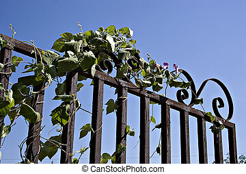 old rusty gate with ivy