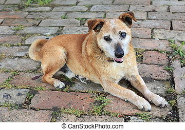 Old sad mix breed dog - Old sick mix breed dog lie on brick...
