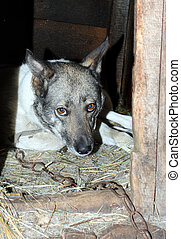 old sadden dog on chain in kennel