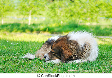 old sick dog lie and sleep on grass on meadow outdoor