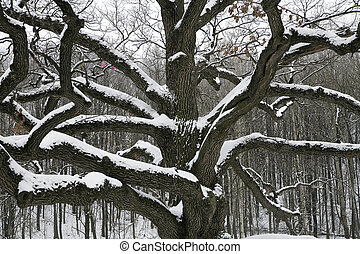 Old snow covered oak against trees in winter park