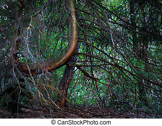 Old spruce tree