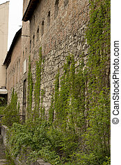 Old stone wall with green vine