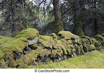 old stone walls covered in green moss at woods in Ireland...