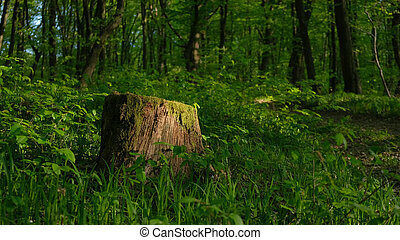 Old stump in the spring forest.