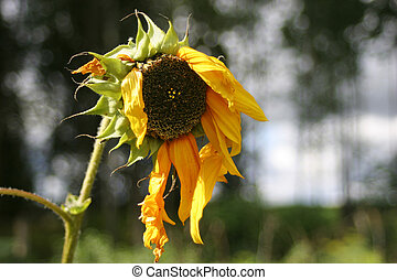 Hanging petals of old sunflower