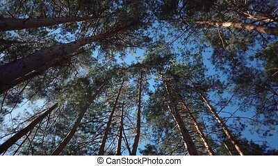 Old tall pines pinery sway in the wind against the sky. Tree...