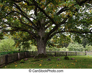 Old thick oak in the park