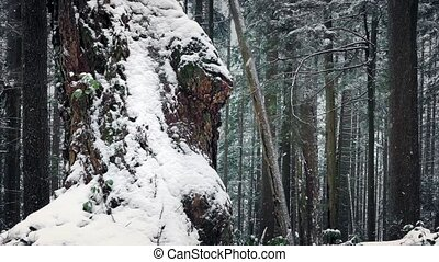 Old Tree Covered In Snow In Winter Forest