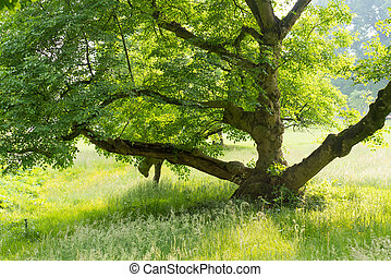 old tree in park