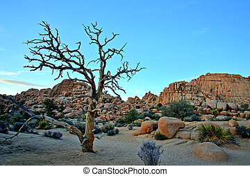 Old Tree in the Joshua Tree National Park, USA