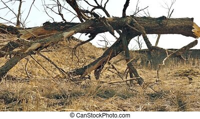 old tree is withered landscape movement around dry grass -...