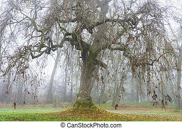 Old tree on foggy autumn day