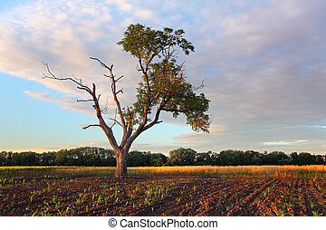 Old tree standing in the wheat field on sunset