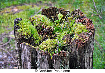 Old tree stump and moss