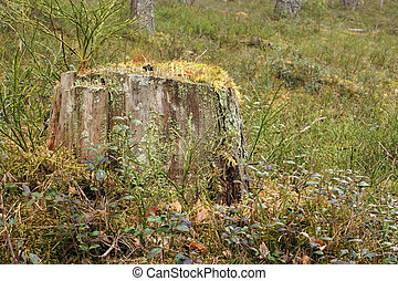 Old tree stump covered with moss in forest