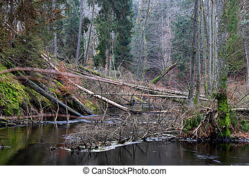 Old trees fell down in the small riverbed. Spruce forest growing on the banks of a small river.