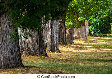 old trees in city park - old trees stand in a row in...