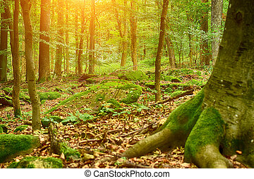 Old trees in forest