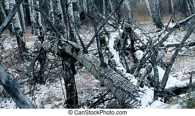 old trees in winter forest