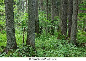 Old trees of Bialowieza Forest