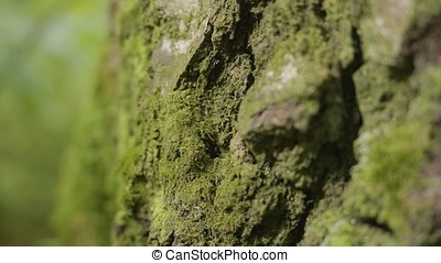 Old trees with lichen and moss in forest. Forest trees...