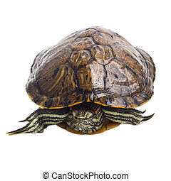 turtle isolated on white background - old turtle isolated on...