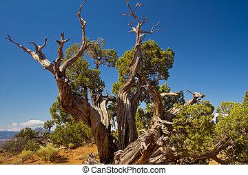 juniper tree in New Mexico desert