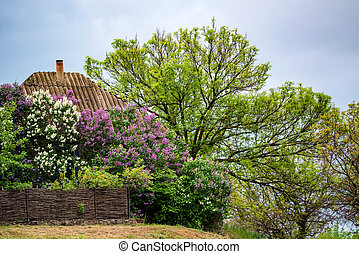Old View of rural house with lush lilac blooming around it ...