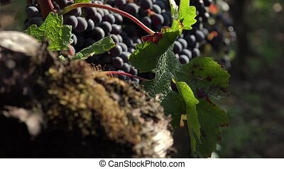 Old vines and red grapes - old vines produce the best grapes...