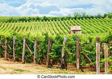 Old vineyard of Blaufränkisch (blue Frankish) grape