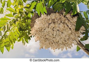 Old Wasp's nest hanging on tree