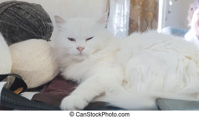 old white cat sleeping on the table lifestyle next to the...