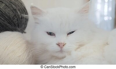 old white cat sleeping on the table next lifestyle to the...