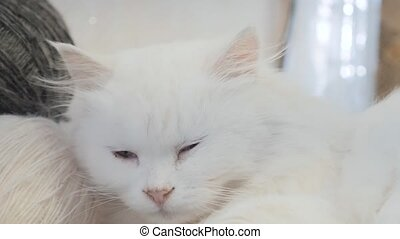 old white cat sleeping on the table next to lifestyle the...