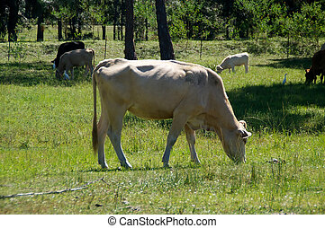 old white cow grazing