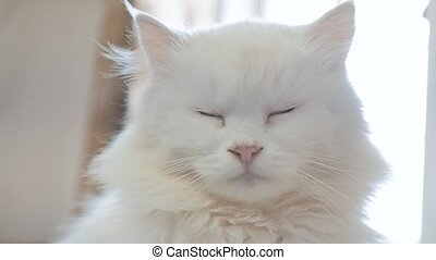 old white fluffy is sleeping cat portrait. old beautiful...