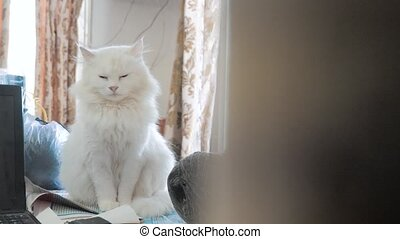 old white fluffy is sleeping cat portrait sitting on the table. old beautiful white cat sitting by the window of the house lifestyle closed her eyes