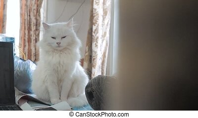 old white fluffy is sleeping cat portrait sitting on the table. old beautiful white cat sitting by the window of lifestyle the house closed her eyes