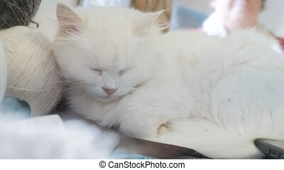 old white pet cat sleeping on the table next to the balls for knitting. old beautiful white cat sitting by the window of lifestyle the house closed her eyes