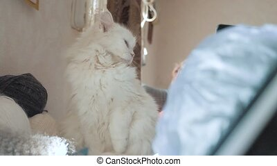 old white pet cat sleeping sitting on the table next to the...