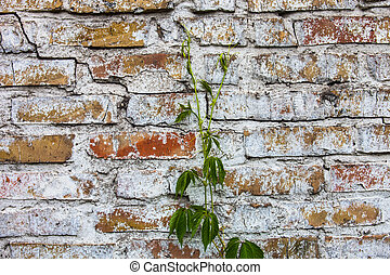 Old whitewashed brick wall with ivy