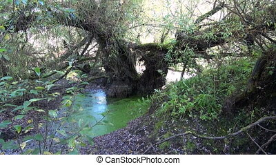 willow tree in wild forest marsh