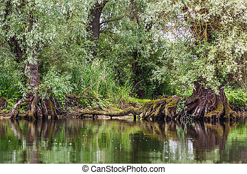 Old willows reflected on water