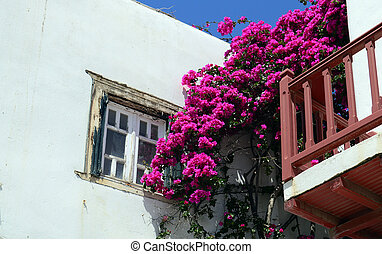 Old window on a white building with beautiful bougainvillea flowers