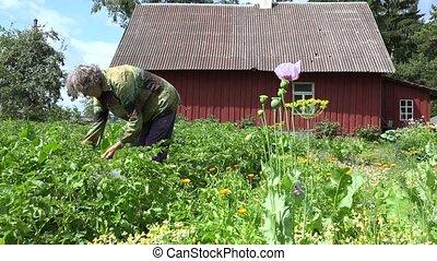 old woman gather colorado beetle from potato plant garden....