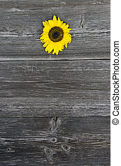 old wooden gray plank board background with sunflower