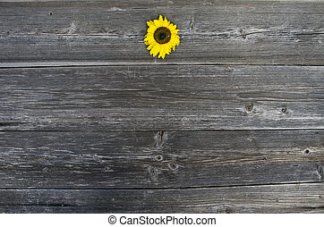 old wooden plank background with one sunflower