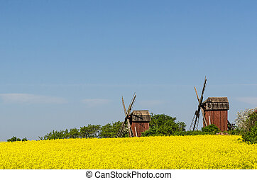 Old wooden windmills by a blossom rapeseed field