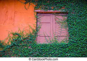 Old wooden window and orange wall overgrown with ivy.